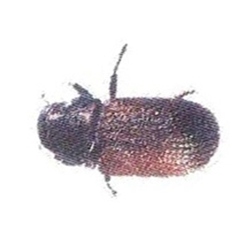 Picture of Douglas-Fir Beetle w/Seudenol Lure