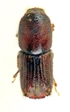 Picture for category Ips Pini Beetle