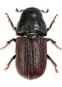 Picture for category Bark Beetles