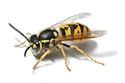 Picture for category Wasps