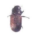 Picture for category Douglas-fir Beetle
