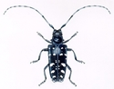 Picture for category Asian Long Horned Beetle