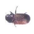Picture of Douglas-Fir Beetle w/MCOL Lure