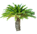 Picture for category Sago Palm