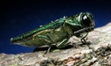 Picture for category Emerald Ash Borer
