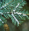 Picture for category Hemlock Wooley Adelgid