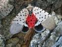Picture for category Spotted Lanternfly