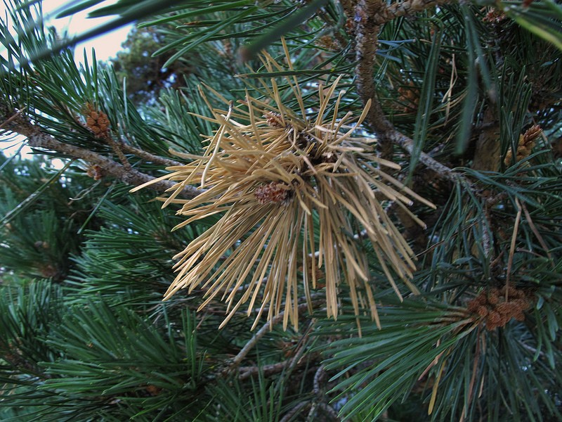 Diplodia Blight in Pine Trees